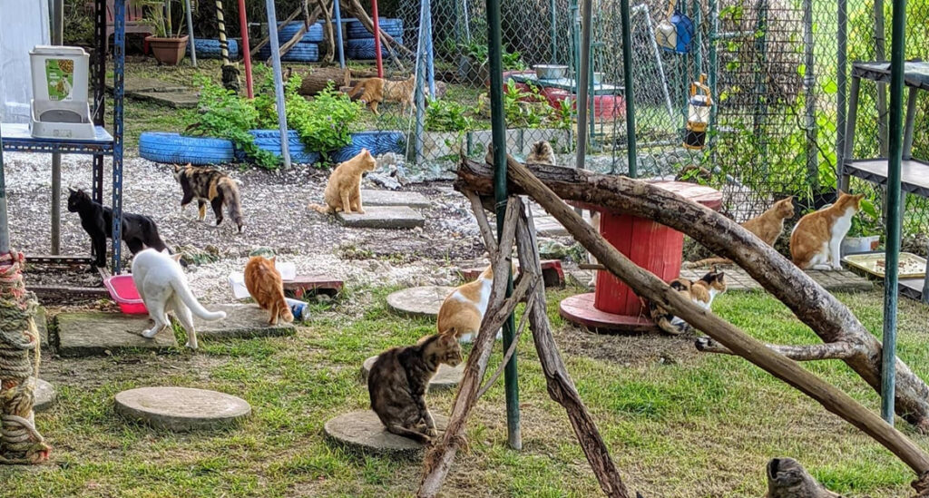 volunteer with rescue cats Barbados